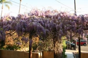 Wisteria blooms in Maech.
